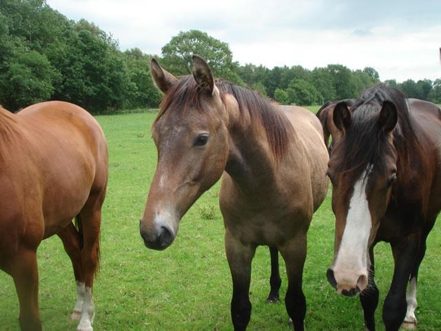 Manege Paarden